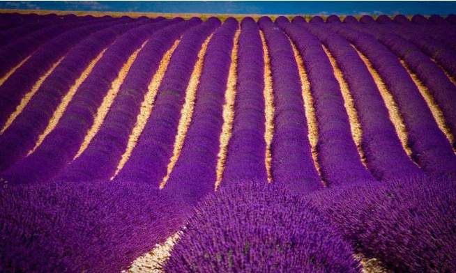 Lavender_fields_in_India